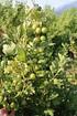 Lubera Stachelbeere Crispa Greenling, kräftiger Strauch im 5l-Topf (3)
