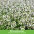 Mein schöner Garten Duftendes Staudenbeet, 22 Pflanzen (3)