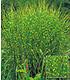 """Mein schöner Garten Gräserbeet """"Sonne"""", 16 Pflanzen (3)"""