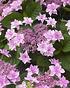 Mein schöner Garten Hortensien Doppio 2-er Set 'Pastel Delight' (3)