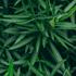 Mein schöner Garten Oleander Nerium auf Stamm (3)