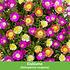 """Mein schöner Garten Staudenbeet """"Blooms for Months"""", 29 Pflanzen (3)"""