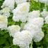 Mein schöner Garten XXL Rispenhortensie 'Limelight' (3)