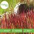 Mein schöner Garten Ziergras 'Red Baron' (5)