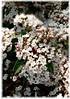 Mittelmeerschneeball Viburnum tinus ´Eve Price` (3)