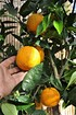 Orangenbaum aus Italien - Citrus sinensis Arancio (3)