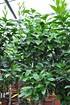 Orangenbaum (Fukumoto) - Citrus sinensis Fukumoto (3)
