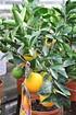 Orangenbaum (Italienische Orange) - Citrus sinensis (3)