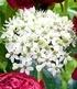 """Päonien-Allium Mix """"FantasticShow"""",6 Zwiebeln (3)"""