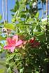 Rhododendron 'Jolie Madame' (3)