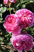 Rose Boscobel (im grossen Container) (3)