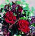 Rose Schwarze Madonna® (im grossen Container) (3)