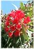 Roter Eucalyptus Eucalyptus ficifolia (3)