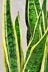 Sansevieria (Bogenhanf) Laurentii (3)