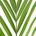 Sense of Home Dypsis lutescens (Areca) ohne Übertopf (4)