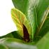 Sense of Home Ficus lyrataohne Übertopf (4)