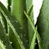 Sense of Home Zimmerpflanze Aloe vera ohne Übertopf (3)