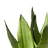 Sense of Home Zimmerpflanze Bogenhanf 'Moonshine' ohne Übertopf (3)