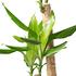 Sense of Home Zimmerpflanze Drachenbaum 'Steudneri' ohne Übertopf (3)