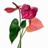 Sense of Home Zimmerpflanze GroßeFlamingoblume pink (3)