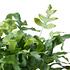 Sense of Home Zimmerpflanze Tüpfelfarn 'Blue Star' ohne Übertopf (3)