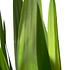 Sense of Home Zimmerpflanze Yucca-Palme ohne Übertopf (3)
