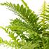 Sense of Home Zimmerpflanze Zwerg-Baumfarn 'Silver Lady' ohne Übertopf (4)
