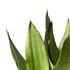 Sense of Home ZimmerpflanzeBogenhanf 'Moonshine' ohne Übertopf (3)