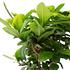 Sense of Home ZimmerpflanzeChinesische Feige ohne Übertopf (3)