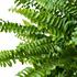 Sense of Home ZimmerpflanzeSchwertfarn 'Green Lady' ohne Übertopf (3)