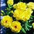 Set mit 4 gelben ADR-Rosen (3)