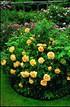 Set mit Apricot-Gelben Englischen Strauchrosen (3)