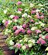 """Spiere """"Harlekin Shirobana"""",1 Pflanze (3)"""