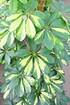 Strahlenaralie (Schefflera) Gelb - Schefflera arboricola (3)