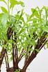 Weide 4-fach geflochten (dunkel) Säule XL - Salix fragilis (3)