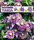Winterharte Kletterpflanzen-Kollektion,2 Containerpflanzen (3)
