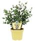 Winterharter BIO-Eukalyptus,1Pflanze (3)