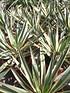 Yucca (Kerzen-Palmlilie) - Yucca gloriosa Variegata (3)
