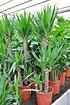 Yuccapalme (Riesen-Palmlilie) 3er - Yucca elephantipes (3)
