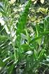 Zamioculca (Glücksfeder) - Zamioculcas zamiifolia (3)