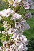 Zierkirsche Prunus serrulataAmanogawa (3)