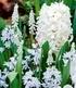 """Zwiebel-Mix """"Garden White"""",25Zwiebeln (3)"""