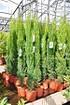 Zypresse (Toskana Zypresse) - Cupressus sempervirens (3)